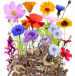 Szybko kwitnąca jednoroczna miniaturka 2