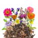 Niskie kwiaty jednoroczne miniaturka 2