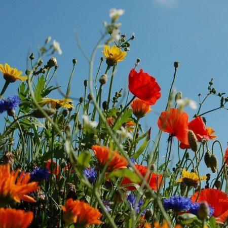 Kwiaty Polne jednoroczne zdjęcie 4