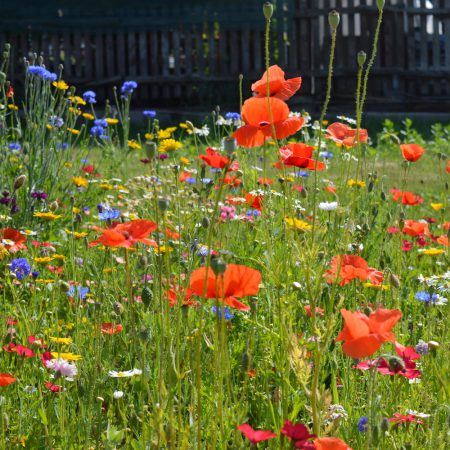 Kwiaty Polne jednoroczne zdjęcie 2