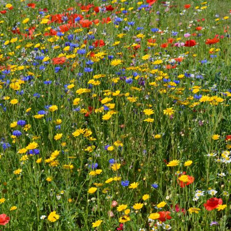 Kwiaty Polne jednoroczne zdjęcie 3