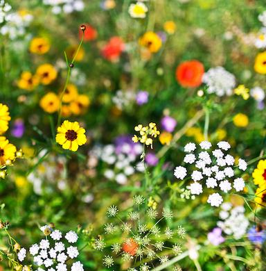 Kwiaty i zioła wieloletnie zdjęcie 4