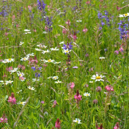 Polskie kwiaty wieloletnie zdjęcie 3