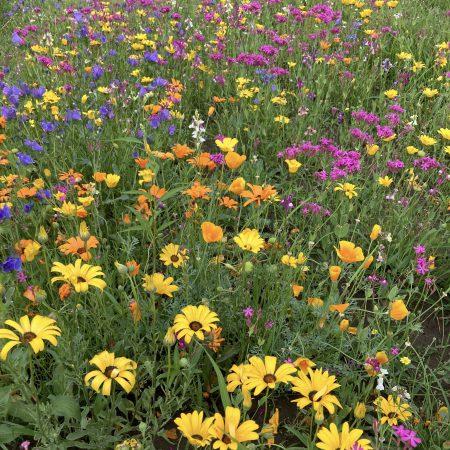 Niskie kwiaty jednoroczne zdjęcie 6