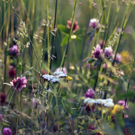 Dla motyli wieloletnia zdjęcie 3